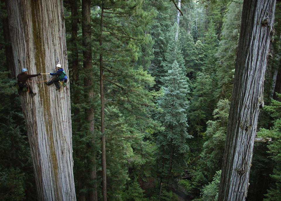 750-year-old0sequoia