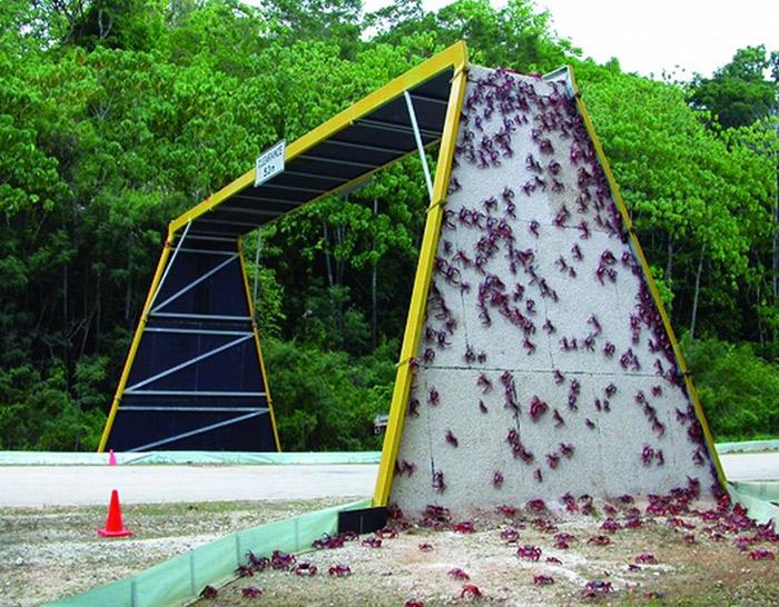 مهاجرت سالیانهی خرچنگهای قرمز در جزیره کریسمس