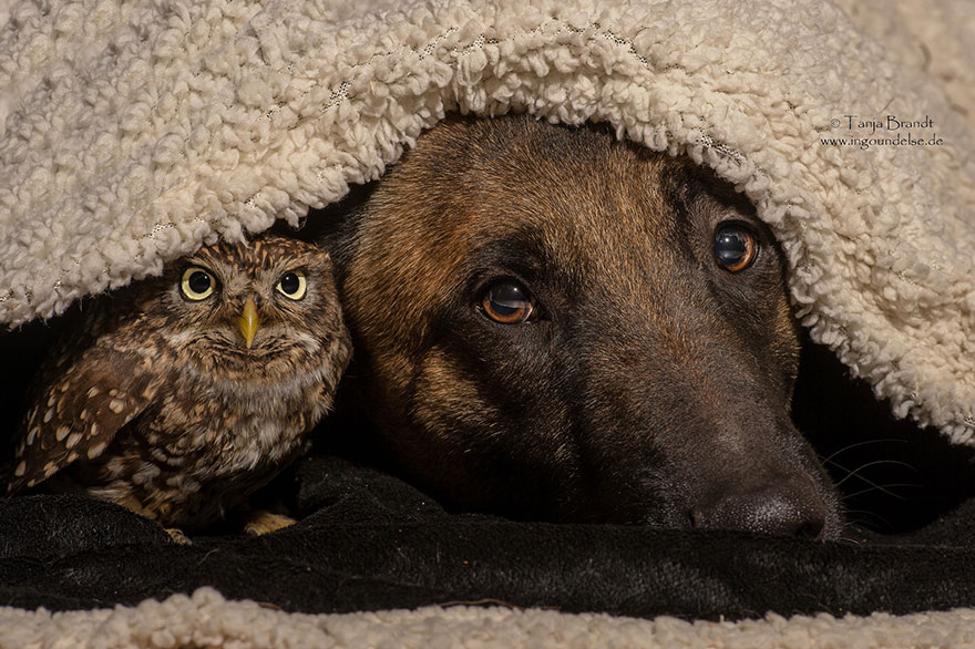dog and owl friendship (2)