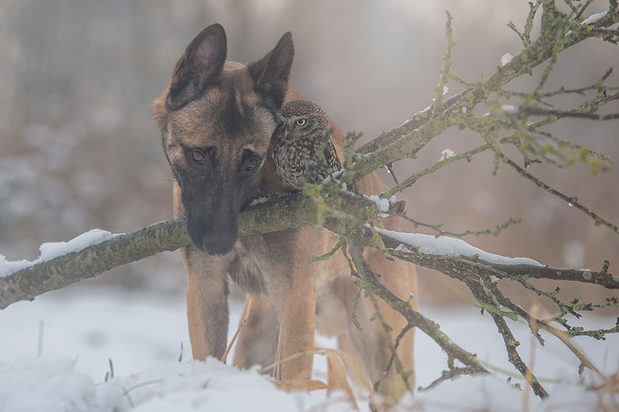 dog and owl friendship (3)