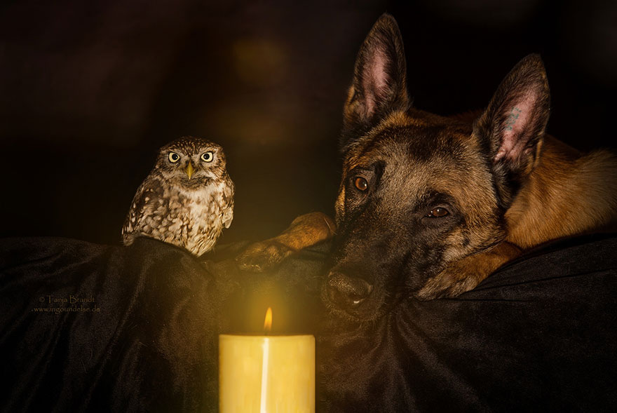 dog and owl friendship (4)