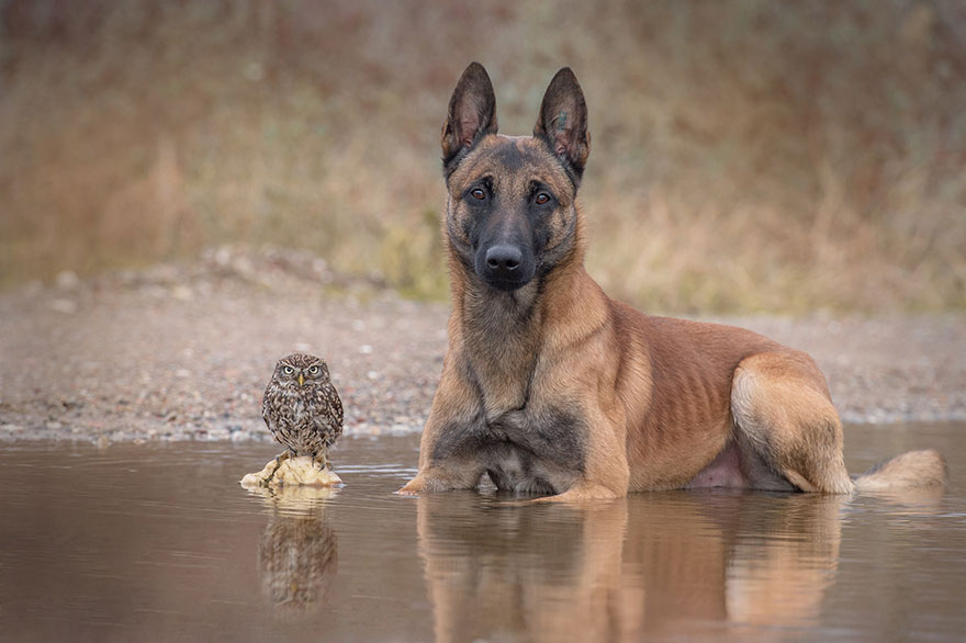 dog and owl friendship (5)
