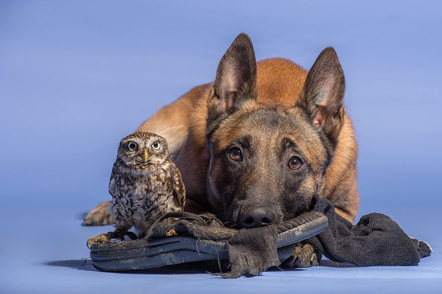 dog and owl friendship (8)