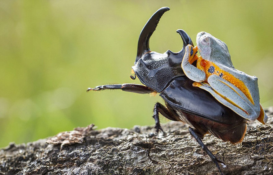 frog-riding-beetle-hendy-mp-3