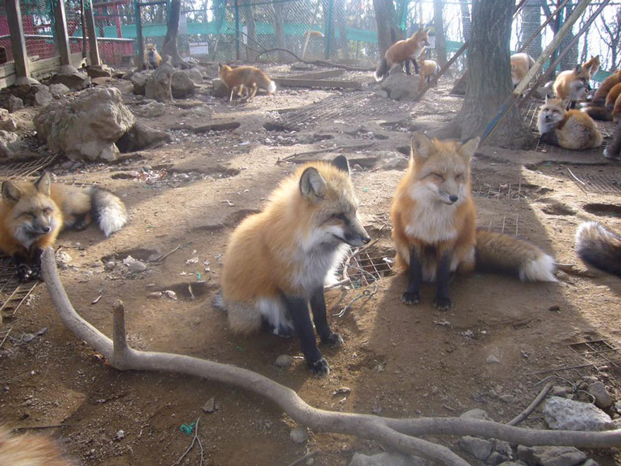 zao-fox-village-japan-12