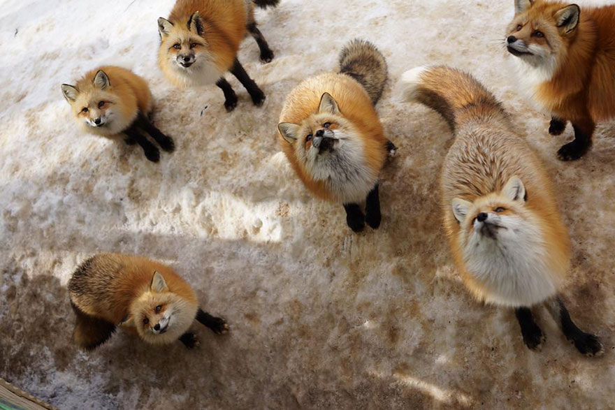 zao-fox-village-japan-23