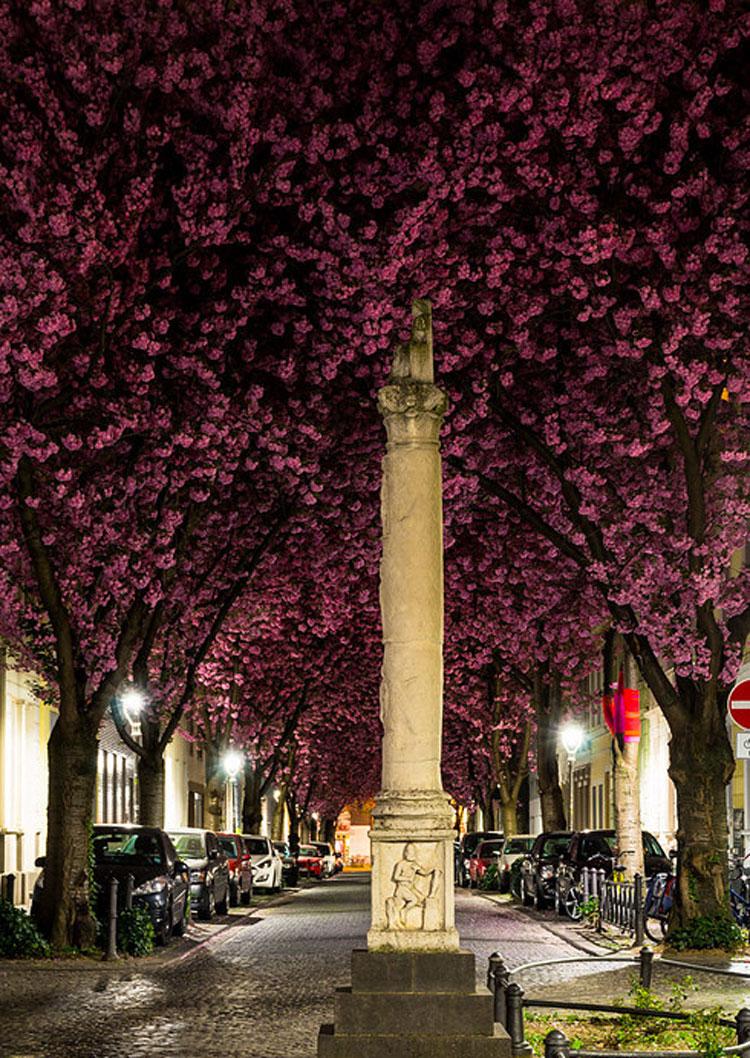 خیابان شکوفههای گیلاس در بُن