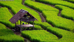 rice field wallpaper