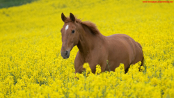 horse in flower field wallpaper