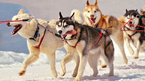 siberian huskies dogs wallpaper