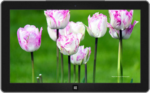 Lovely Tulips theme windows 8, 8.1