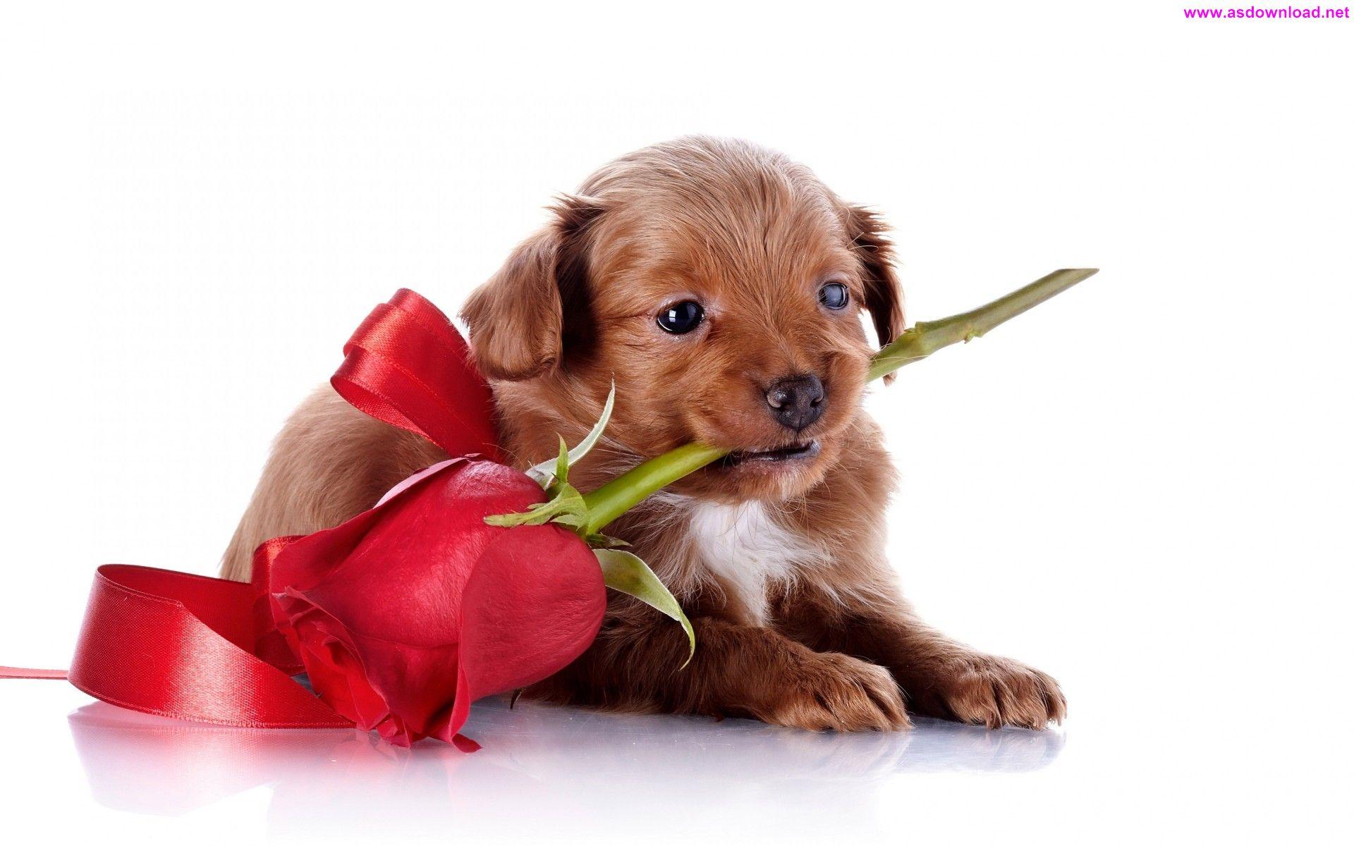 Dog Puppy Rose Wallpaper دانلود والپیپر جدید 2015