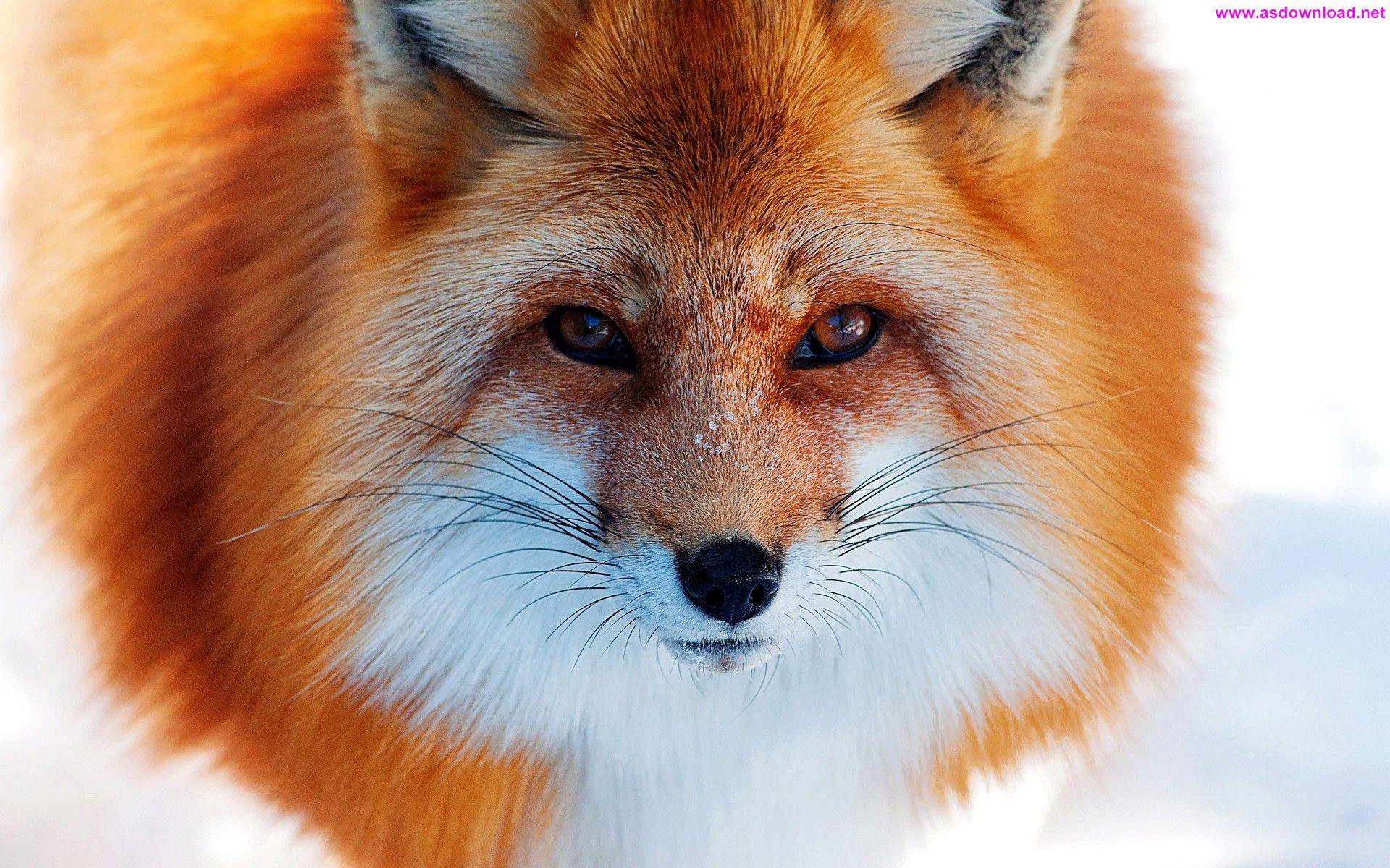 Fox Close-Up Snow Winter Wallpaper