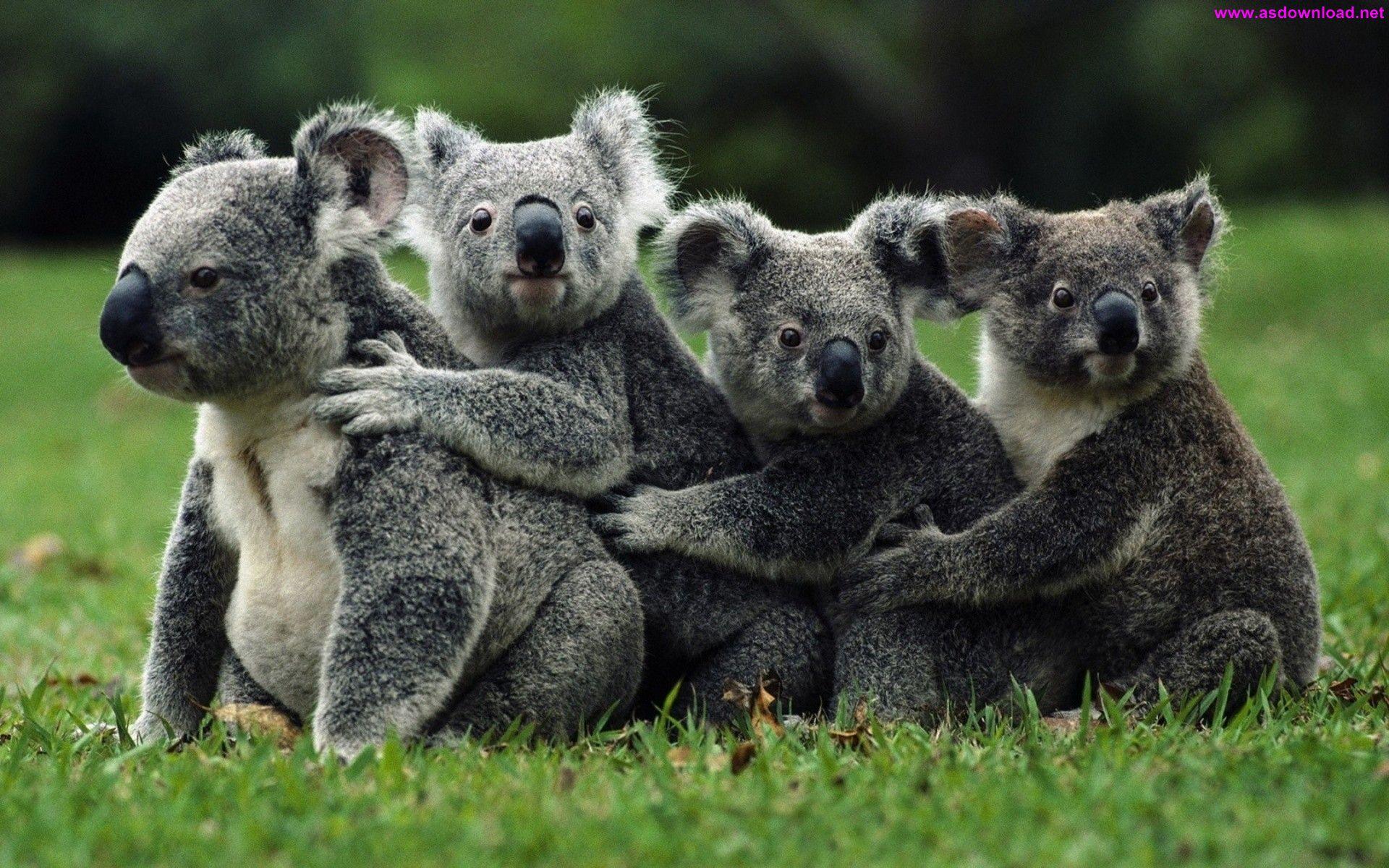 Koala Bears Wallpaper دانلود والپیپر جدید 2015