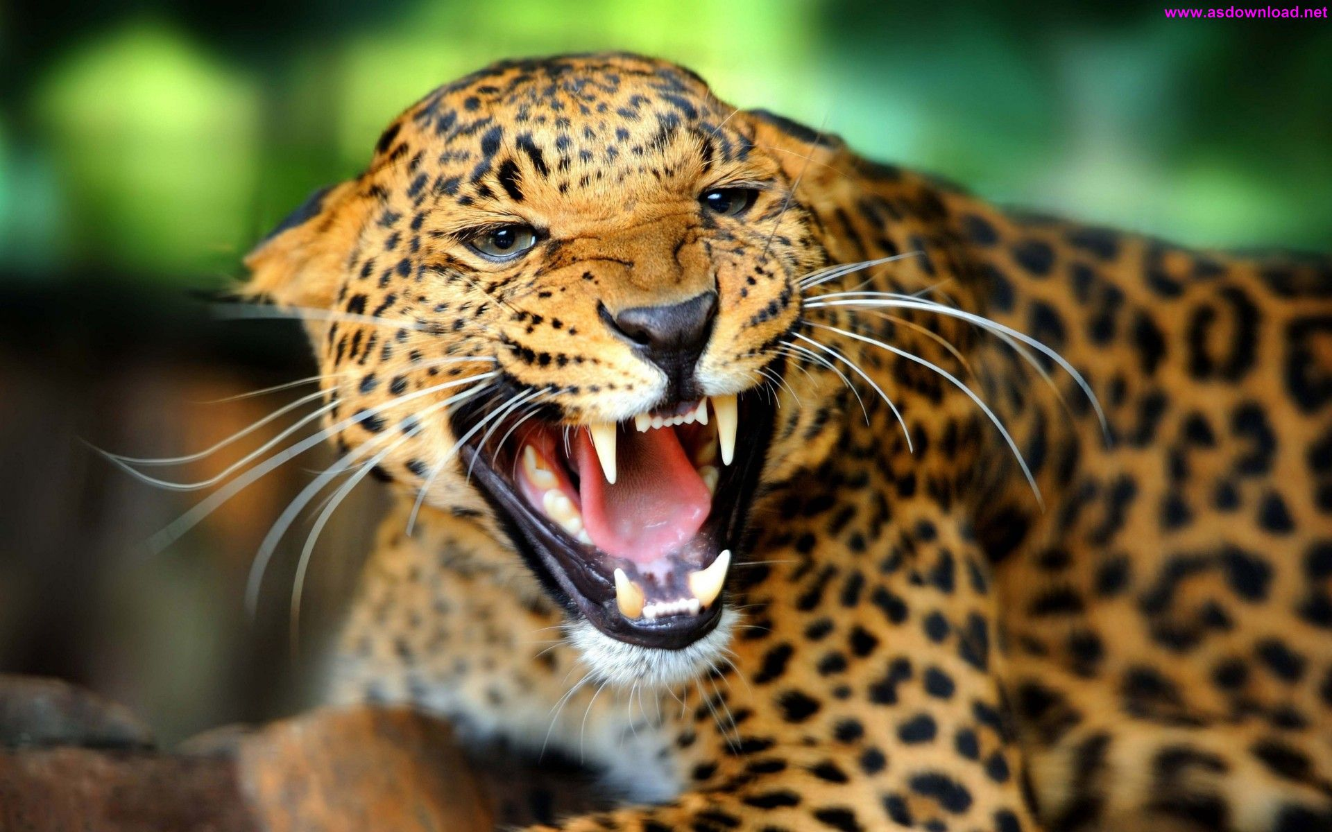 Leopard Wild Cat Growl Close Up Wallpaper دانلود والپیپر جدید 2015